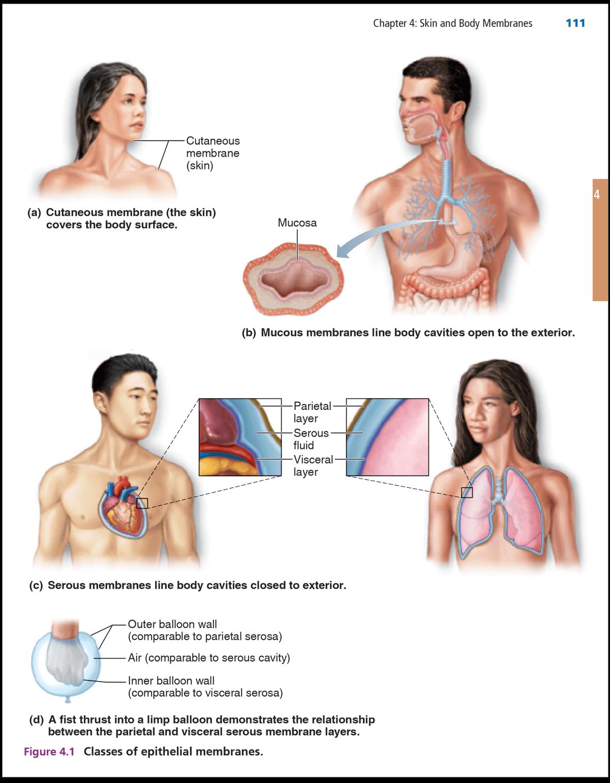 Marieb & Keller, Essentials of Human Anatomy & Physiology, 12th ...