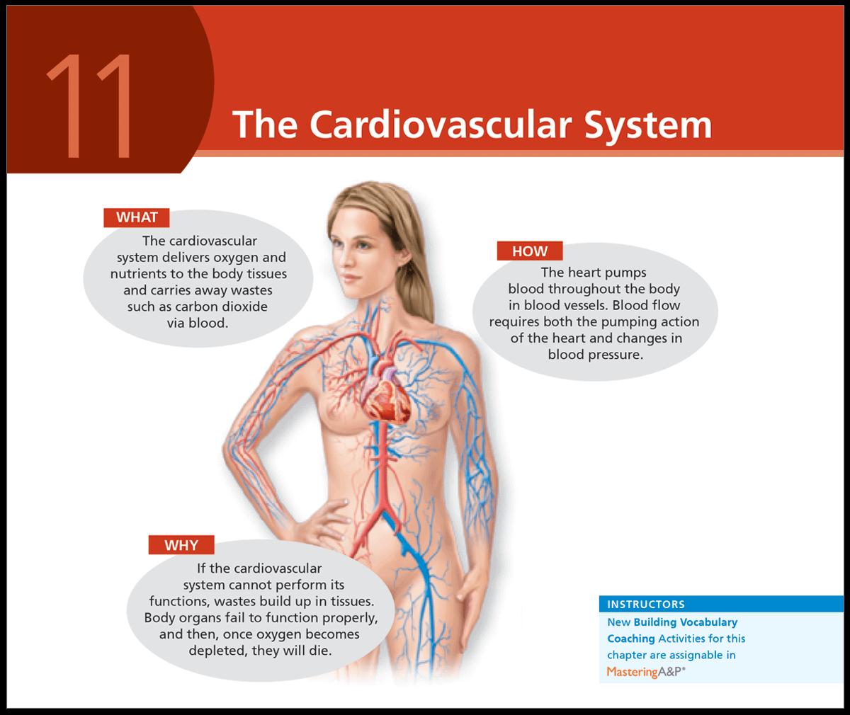 Marieb & Keller, Essentials of Human Anatomy & Physiology